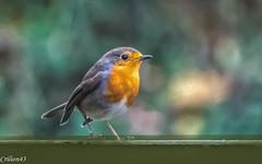 Rouge gorge cherche à manger.. (Crilion43) Tags: réflex france véreaux divers nature jardin centre paysage canon rougegorge oiseaux 1200d cher bleue brouillard charbonnière herbe mésange
