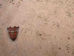 Moth on MDF (HUTCHISON WORKS) Tags: panasonic lumix gx7 20mm 17 nature macro moth buildingmaterials mdf mediumdensityfibreboard