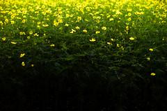 yellow cosmos (N.sino) Tags: m9 summilux50mm cosmos
