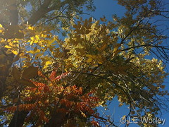 October 16, 2016 - Beautiful fall colors in Thornton. (LE Worley)