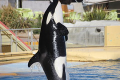 IMG_6875 (Bebelouga) Tags: orque marineland killerwhale orca