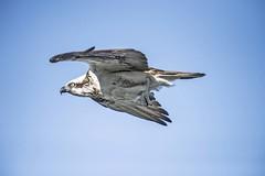 Osprey Soaring (Geoffsnaps) Tags: osprey bird flight flying raptor birdpreybird preyfishpandion cristatusnikon d810nikond810fxnikon nikkor 200500mm f56e ed vr afsnikkor200500mmf56eedvrafsgitzo gm5541 carbon monopodgitzogm5541carbonmonopodacratech panoramic headmonopod head acratech sea ocean inflight soaring