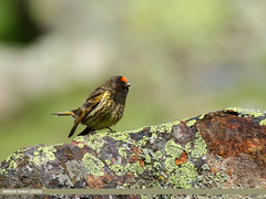 Fire-fronted Serin (Serinus pusillus) (gilgit2) Tags: avifauna birds canon canoneos7dmarkii category fauna feathers firefrontedserinserinuspusillus geotagged gilgit gilgitbaltistan imranshah location naltar pakistan species tags tamron tamronsp150600mmf563divcusd wildlife wings gilgit2 serinuspusillus redfrontedserin
