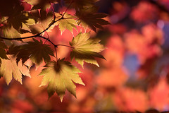 The Drama of Autumn (jasohill) Tags: autumn october landscape tohoku vibrant city 2016 iwate trees adventure travel photography life colors hachimantai color japan nature eos 80d canon canoneos80d