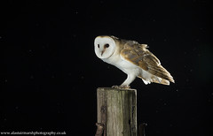 Barn Owl (Alastair Marsh Photography) Tags: barnowl barnowls owl owls farm farmland farmanimal farmanimals bird birds birdofprey birdsofprey wildlife animal animals animalsintheirlandscape feathers feather nocturnal nocturnalwildlife night nightphotography nighttime wildlifeatnight britishwildlife britishanimals britishanimal britishbirds britishbird
