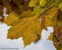 Fall Has Cometh (jimgspokane) Tags: fall trees autumn spokanewashingtonstate mapletrees nikonflickraward
