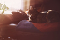 cat comforts... (CatMacBride) Tags: duffy sofa light sunshine cosy blanket cat cute comfortable