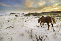 Wild ponies on Assateague Island, Maryland (crabsandbeer (Kevin Moore)) Tags: assateagueisland assateague island horse pony ponies maryland evening sunset beach sand wildlife three graze grazing animal golden dunes landscape nature
