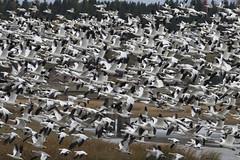 Snow Geese invasion in town. (Natimages) Tags: migration migratorybirds snowgeese flock birdflock largeflock birding fall autumn river estuary rivireduloup stlawrenceriver pentaxk3 da3004