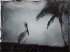 Pelican and palm tree in Puerto Vallarta, Mexico run through the photo app Stackables 'Tintype' formula (elizabatz.jensen) Tags: puertovallarta mexico photoapp stackables formula pelican bird palm tree