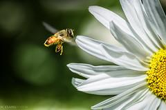 yendo al trabajo (Mauro Esains) Tags: abejas desenfoque trabajo polen flor margarita tamron nikon macro movimiento aire libre jardn primer plano vuelo ptalos inse