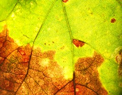 Backlit (ralph_harp) Tags: macromondays backlit flickrfriday autumnleaves