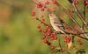 Chardonneret jaune - American Goldfinch (ricketdi) Tags: bird cantley chardonneret chardonneretjaune finch americangoldfinch spinustristis