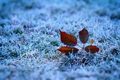 (Alin B.) Tags: alinbrotea nature autumn winter ice cold frozen frosty december november