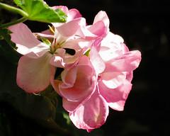 French Geraniums (San Francisco Gal) Tags: geranium flower fleur bloom blossom waterdrop monetsgarden giverny normandy france