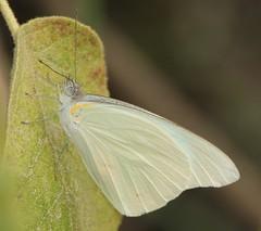 Florida White, Glutophrissa drusilla (Birdernaturalist) Tags: butterfly catamayo ecuador loja pieridae pierinae pierini richhoyer