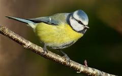 Blue Tit (Arnt Kvinnesland) Tags: bluetit gardenbirds outdoor november blmeis hagefugler blikshavn karmy norway