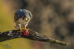 Rare View (Scott Joshua Dere) Tags: falcon predator birdofprey wildlife cliffhanger birding birds