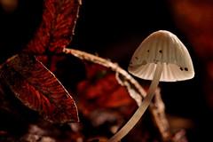 A small mushroom (Beatriz-c) Tags: mushroom seta setas nature naturaleza forest bosque macro micro light luz