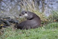 _DSC2959 (mikedoylepics) Tags: otter otters europeanotter animals britishwildlife british britishwildlifecentre d750 lingfield mammals nature nikon nikond750 surrey wildlife b