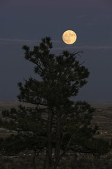 The Rising (courtney_meier) Tags: boulder bouldercounty colorado greatplains pinusponderosa ponderosapine bluehour fullmoon moon moonrise pine plains supermoon tree nasasupermoon