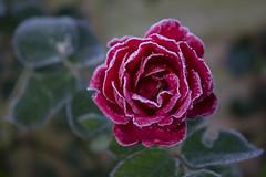 Frosty Rose (Nikki Goldblatt) Tags: garden frost frosty flower rose plants nature