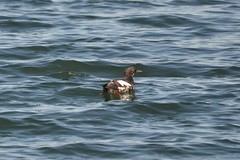 Pigeon Guillemot showing the red legs (Delta Naturalists Casual Birding) Tags: 201205 blaine dncb