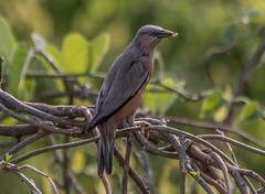 _DSC2971 (selim.ahmed) Tags: birds bangladesh uttora uttara dhaka smallbirds