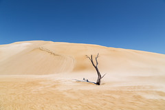 Tree and sand (RWYoung Images) Tags: rwyoung canon 5d3 tree deadtree southaustralia sand sanddune arid dune
