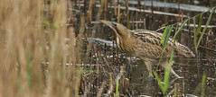 I got a glimpse of this elusive rare Bittern (Botaurus stellaris) on friday before it disappeared into the reeds again. (Sandra Standbridge.) Tags: bittern botaurusstellaris bird animal wildandfree elusive rare reeds reedbed water lake crossing outdoor