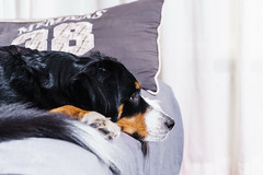 Bernese Mountain Dog (Htbaa) Tags: