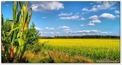 """Gelb blht der """"Weie Senf"""" (Don111 Spangemacher) Tags: gelb blte landschaft lauenbrck vahlde rotenburgwmme niedersachsen fintel felder natur herbst mais weisersenf senfpflanze"""