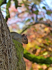 ......all creatures great and small. (jeansmachines24) Tags: squirrel grey clyne autumn 2016 tree trunk colour