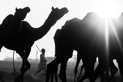 Herder | Pushkar camel fair,Rajasthan. (vjisin) Tags: pushkar rajasthan india iamnikon nikond3200 asia camel incredibleindia indianheritage travelphotography pushkarcamelfair herder monochrome blackandwhite inexplore outdoor sport animal riding indianman man camelherder silhouette