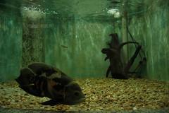 Desviando o olhar (PortalJornalismoESPM.SP) Tags: oscar peixe pequeno grande aqurio gua tronco oxignio