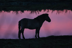 Dusk horse (Kip Loades) Tags: contrast dusk horse silhouette profile black sunset pink