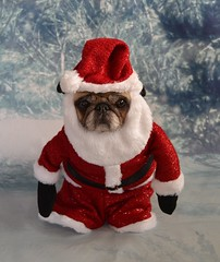 Old St. Nick Pug (DaPuglet) Tags: pug dog christmas santa holiday card cute funny costume pets animals baileypuggins dapuglet greeting festive