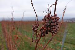 In den Weinbergen über Gau-Algesheim (Frank Hamm) Tags: rheinhessen wandern laurenziberg weintrauben