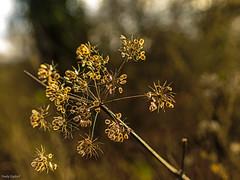 Bokeh (fredy_egdorf) Tags: samendolde 2016 pflanzen sonne bokeh olympus omd em1 lightroom photoshop luminanzmaske schloss westerwinkel