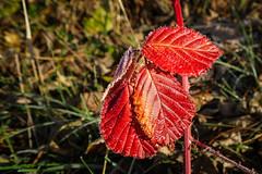 die letzten herbstlichen Farben / the last signs of Autumn (ulibrox) Tags: deutschland herbst pfaffenhofenanderglonn jahreszeit laub pflanzen bayern unterumbach perfecteffects bavaria germany on1