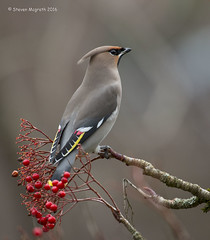 Waxwing (Steven Mcgrath (Glesgastef)) Tags: waxwing botanic gardens glasgow scotland uk scottish urban city europe
