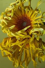 Gerbera (rick ligthelm) Tags: gerbera yellow yellowgerbera pingerbera flower fleur blume bloem closeup macro reflectie reflection