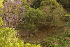 le jacarandas de la ravine trois bassins (grondingilbert) Tags: nature nikon intense landscapes reunionisland reunionnaisdumonde paysage974 sauvage d3100 35mm ile f18 ravine