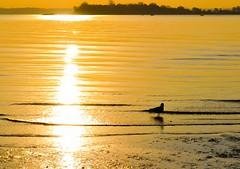 Who is She Who Shines Like The Dawn (Lojones13) Tags: serene sea water reflection sunrise river morning orchardbeach outdoor sunshine bronx newyork
