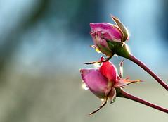 (Vitatrix) Tags: rosen blten blumen pflanzen tropfen sonnenlicht