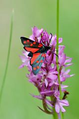 La Zygne transalpine (Laurent Moulin photographie) Tags: la zygene transalpine orchidee orchis pyramidal orchid sauvage de france vercors papillon buterfly noir et rouge black red