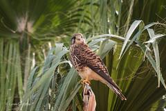 Kestrel D75_6161.jpg (Mobile Lynn) Tags: birdsofprey kestrel wild birds nature bird birdofprey fauna raptor wildlife pontadosol madeira portugal pt