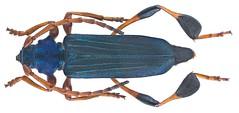 Phyllocnema (Phyllometalla) viridicostata Aurivillius, 1887 (urjsa) Tags: coleoptera kaefer beetle insect cerambycidae phyllocnema viridicostata phyllocnemaviridicostata tanzania africa afrika taxonomy:binomial=phyllocnemaviridicostata taxonomy:order=coleoptera taxonomy:family=cerambycidae taxonomy:genus=phyllocnema taxonomy:species=viridicostata geo:country=tanzania coleopteraus käfer insekt phyllometalla