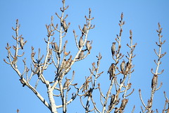 Bohemian waxwings,  Bombycilla garrulus (jlcummins - Washington State) Tags: bird wildlife bohemianwaxwing snowmountainranch yakimacounty washingtonstate