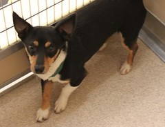 Alvan(3) (Mary022378) Tags: dogs puppies naperville adopt adoptpetshelter